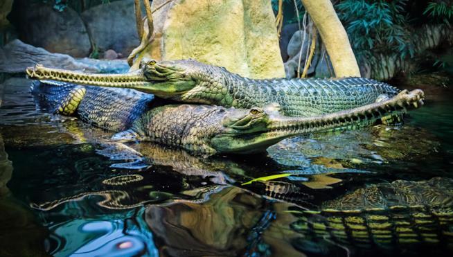 Il gaviale del Gange era molto diffuso nei fiumi dell'India