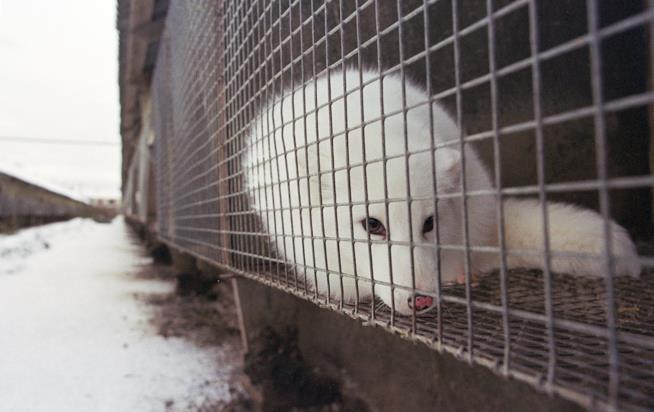 Una volpe artica in gabbia