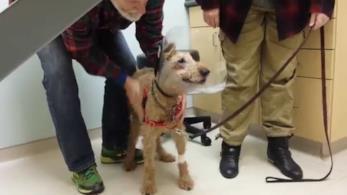 L'Irish terrier Duffy quando rivede la sua famiglia nella clinica veterinaria