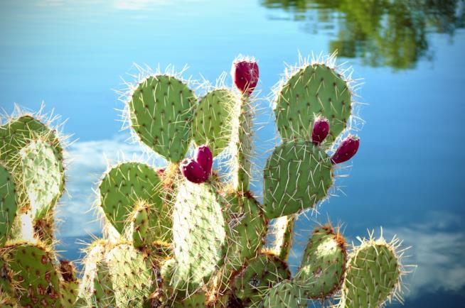 Il fico d'India, pianta grassa utilizzata per i massaggi al cactus