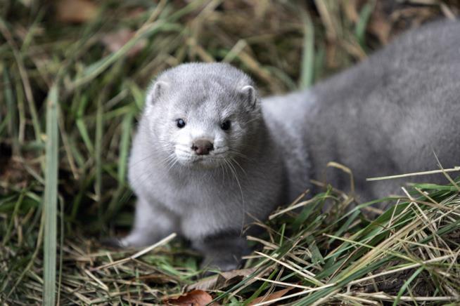 Un visone grigio in mezzo all'erba