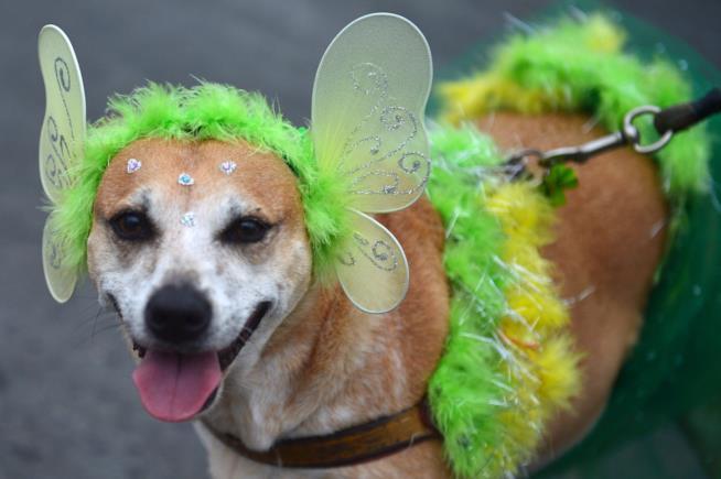 Il costume da fata per cani