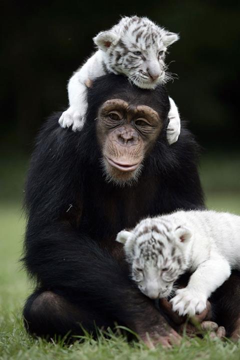 Scimpanzé gioca con dei cuccioli  di tigre