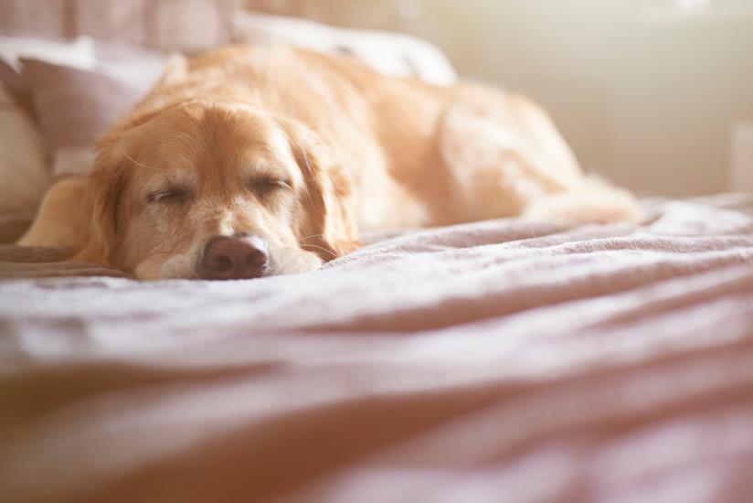 Cane che dorme sul letto