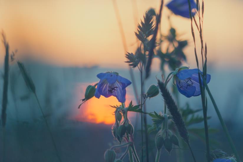 Fiori in primo piano al tramonto del sole