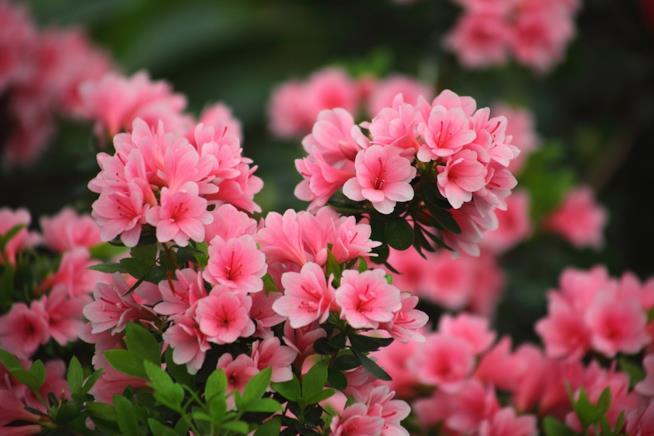Un'azalea color rosa