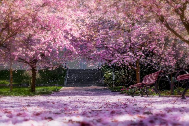Parco con i ciliegi in fiore