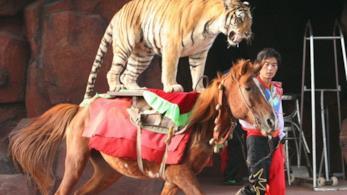 Un tigre ritta in sella sopra ad un cavallo in un circo