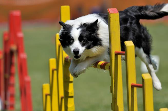 Cane che salta gli ostacoli