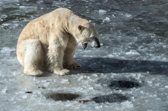 un orso polare sul ghiaccio
