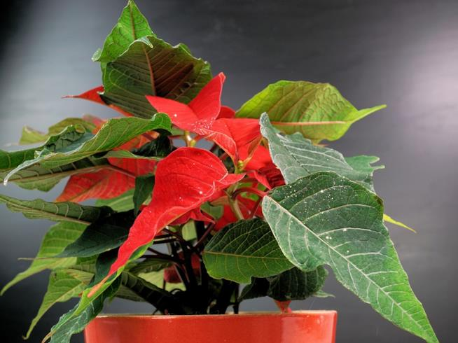 Stella Di Natale Appassita.Come Curare Coltivare E Conservare La Stella Di Natale
