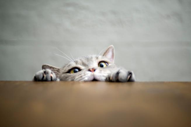 Un gatto fa capolino dal bordo di un tavolo