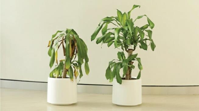 Due piante alla fine dell'esperimento Bully a Plant di Ikea