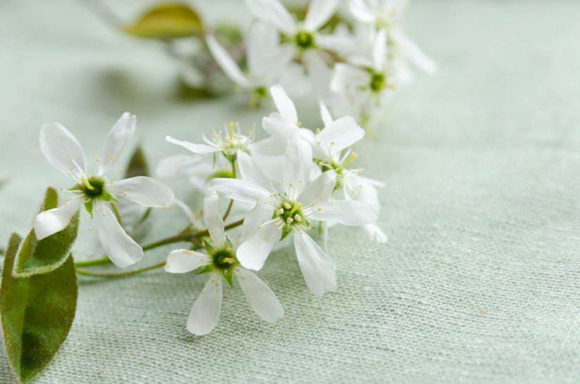 fiori di Amelanchier Canadensis