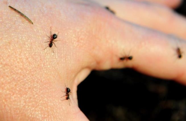 Il piacere raggiunto a contatto con gli insetti è la formicophilia
