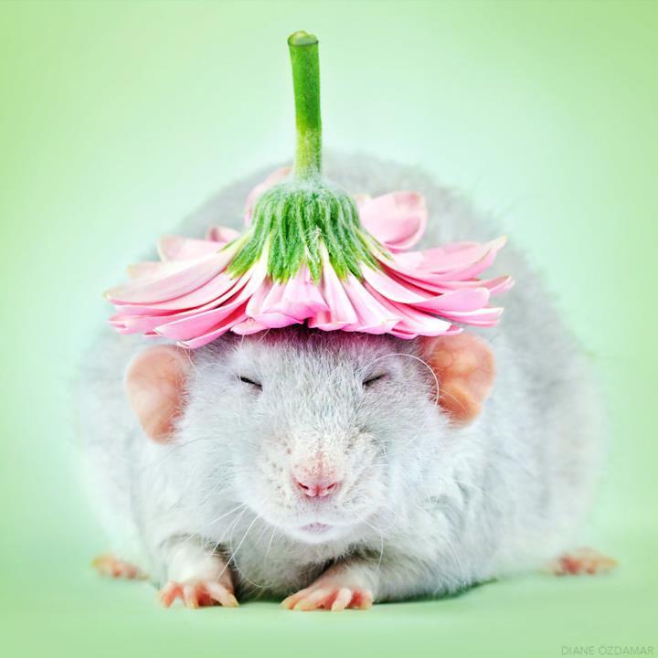 Un topo grigio con un fiore