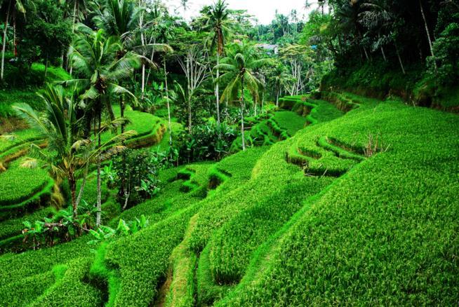 Bali, cosa vedere: le risaie