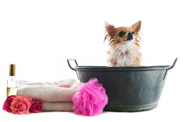 Un cagnolino attende di essere asciugato dopo il lavaggio