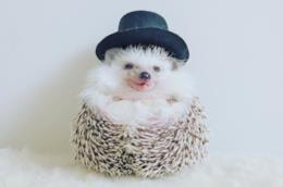 Il riccio Azuki con un cappello a bombetta