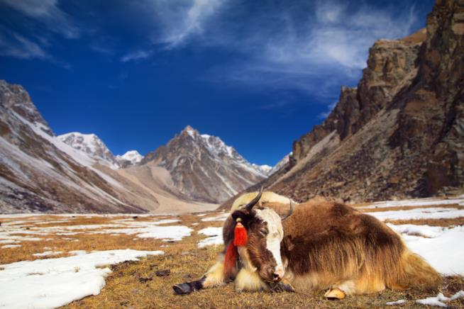 Yak in montagna