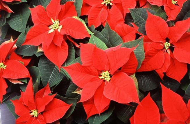Stella Di Natale Foglie Gialle.Come Curare Coltivare E Conservare La Stella Di Natale