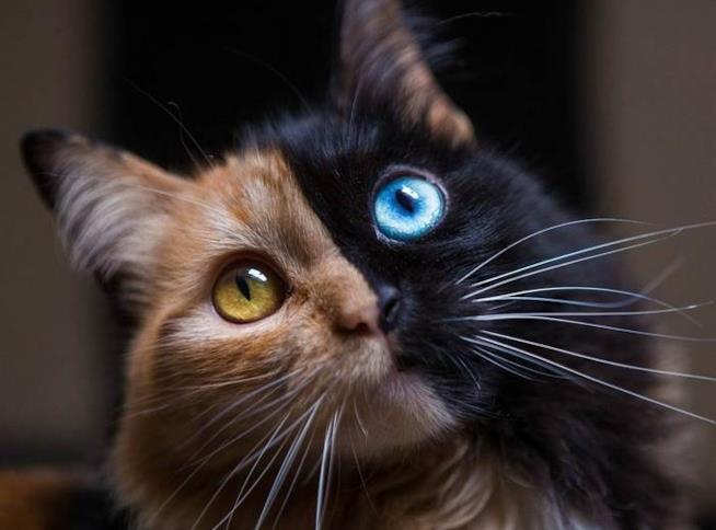 Un primo piano della gatta bicolore Quimera