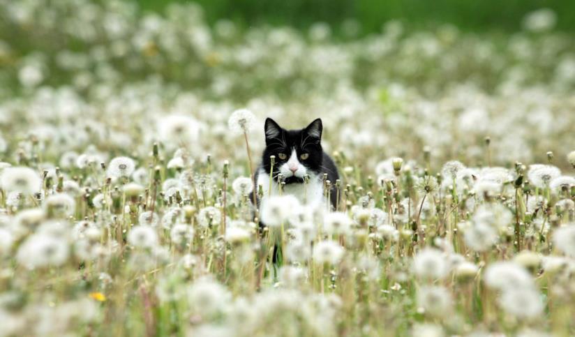 Un gatto bianco e nero in un campo di denti di leone