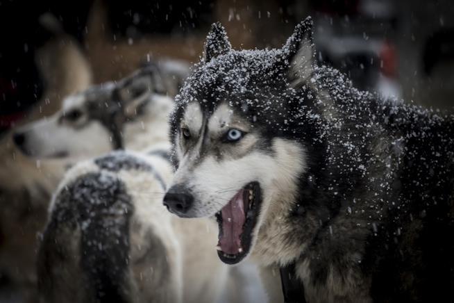 Un cane di razza Husky