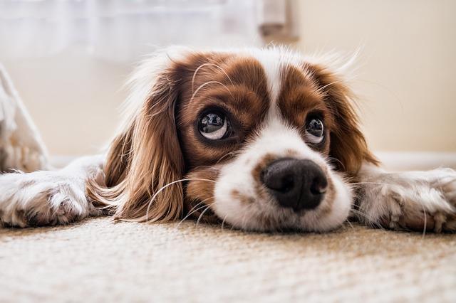 Un cane con espressione languida