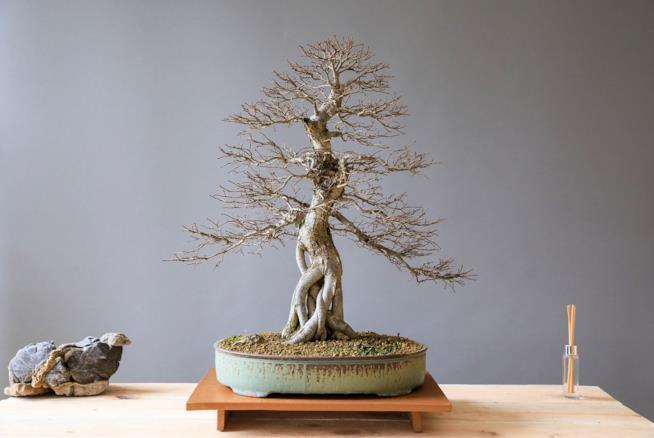Come potare, quando innaffiare e in quali vasi sistemare i bonsai