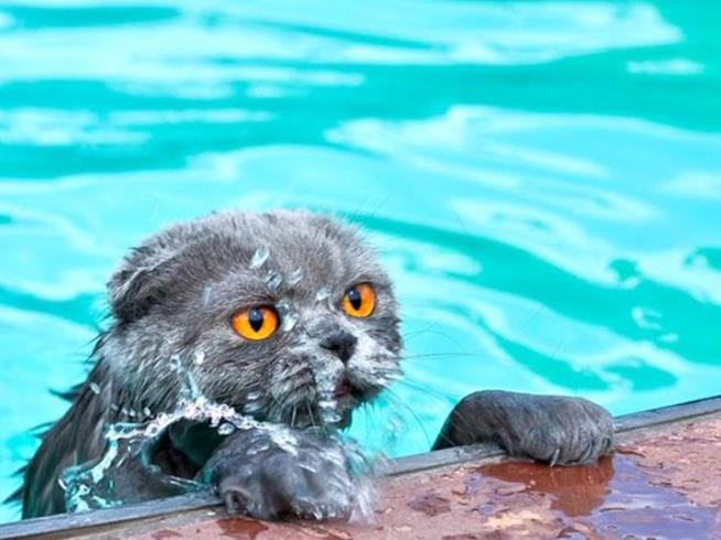 Un gatto in acqua a bordo piscina