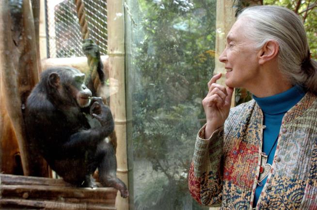 Jane Goodall con uno scimpanzè