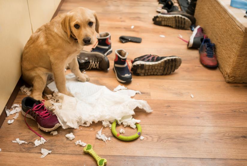 Cane che distrugge la scarpiera