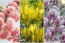 Alberi in I fiori di laburno, ciliegio da fiore e magnolia soulangeanain
