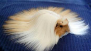 Il pelo lungo e incredibile di una cavia peruviana