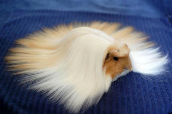 Cavia col pelo bianco e biondo