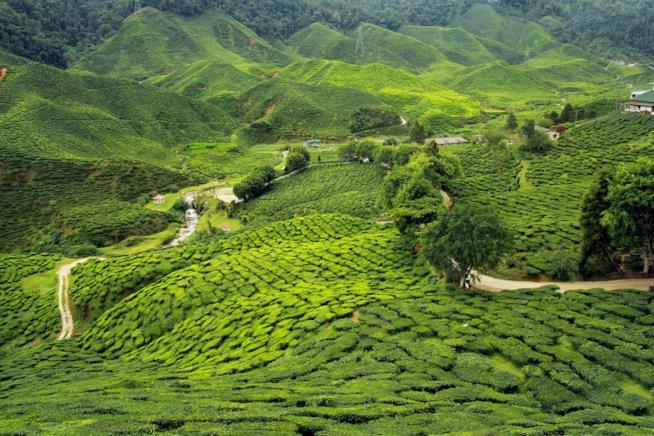 India, veduta di piantagioni di tè