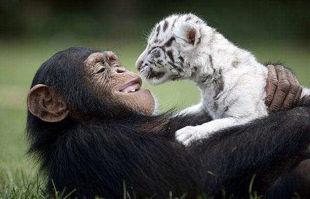 Uno scimpanzé gioca con un cucciolo di tigre