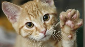 gatto che saluta con la zampina