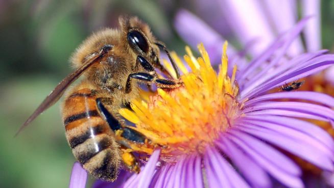 Più sane con il veleno delle api