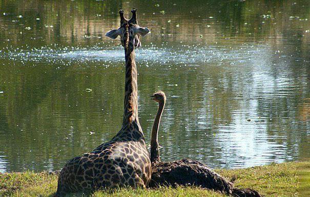 Una giraffa ed uno struzzo