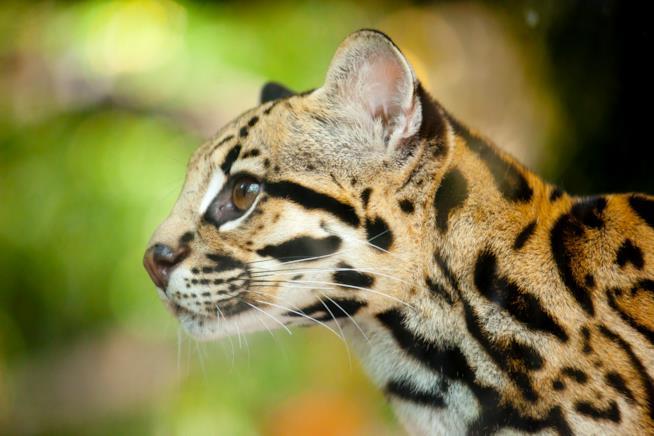 Profilo di un gatto Margay
