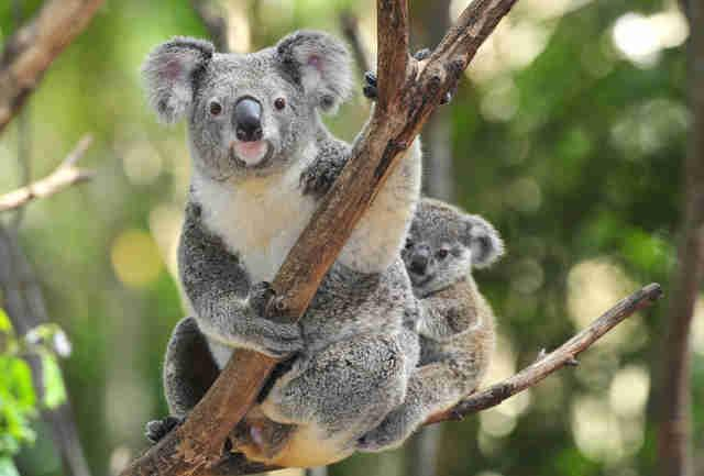 Un cucciolo di koala e sua madre