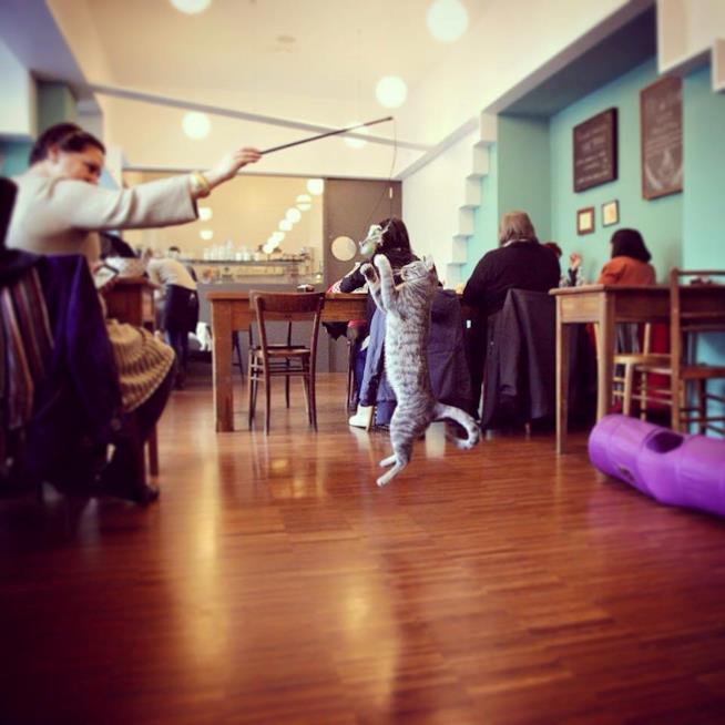 Un gatto gioca al Crazy Cat Café