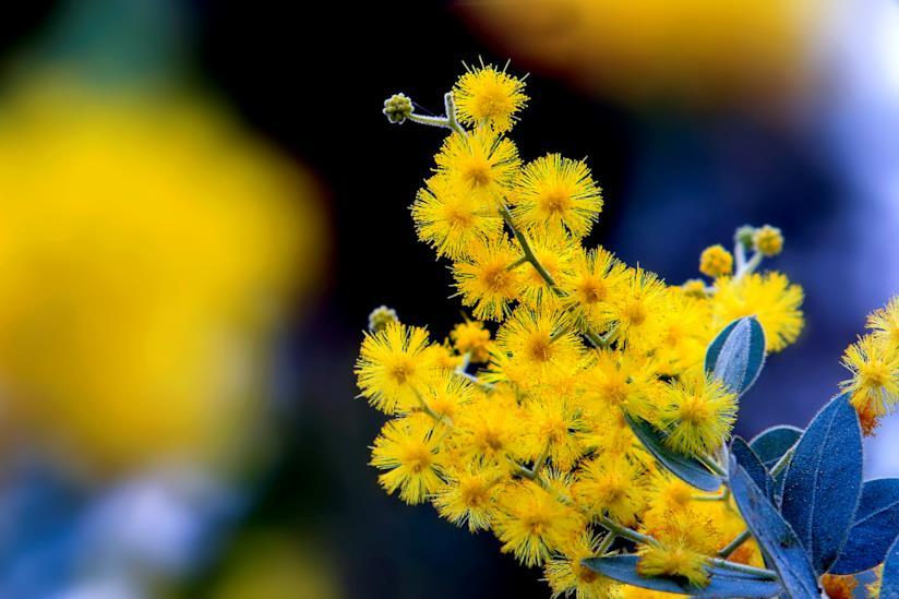 Mimosa in primo piano