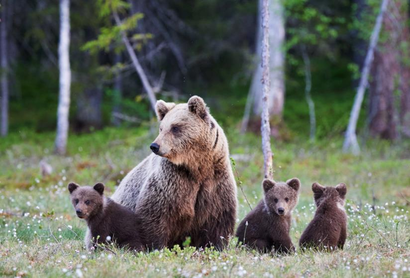 Un famigliola di orsi bruni