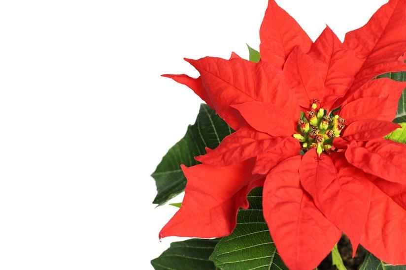 Stella Di Natale Secca.Come Curare Coltivare E Conservare La Stella Di Natale