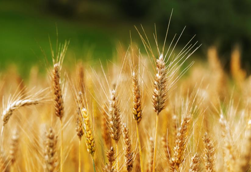 Le spighe del grano