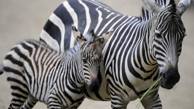 La zebra a pois esiste davvero e il suo nome è Tira