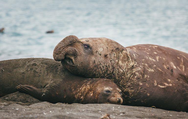 Un cucciolo di elefante marino e il suo cucciolo spiaggiati